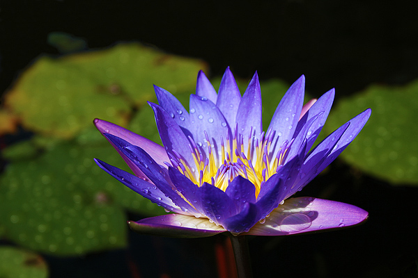 Blue Lotus 100x Extract - Nymphaea caerulea